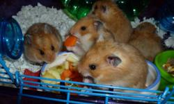 Cute and friendly hamsters looking for a home.. contact if interested..