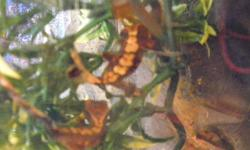 **BABY CRESTIES** Very cute juvenile Chocolate Harlequin Crested Gecko's for sale. Very nice patterns.  Ranging in ages from 2 to 5 months.  $40.00 EACH