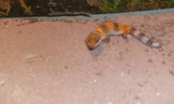 Looking to sell a baby leopard gecko hatch beginning of October. eating like a champ. Great colours. If interested send me a message or text (519-575-6502)