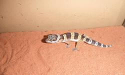 I have 3 baby leopard geckos. All are purple and yellow (normal morph). All were hatched by us in our home. They are easy to care for and are low maintenance. They do not come with a vivarium. If you have any questions please e-mail. Will deliver within