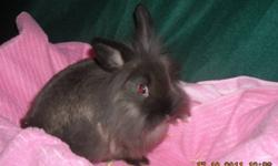 Baby LionLop Bunnies   3 Baby LionLop Bunnies Looking For Good Homes.   2 Females (1 White and Dark Brown, 1 Very Fluffy Siamese Sable). 1 Male (Fluffy White and Dark Brown).   9 Weeks Old. Ready To Go. All Are Friendly and Loving. Use To Kids, Cats and