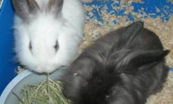 3 Baby LionLop Bunnies Looking For Loving Homes. 2 Females (1 White and Brown, 1 Fluffy Siamese Sable) 1 Fluffy White and Brown Male.   10 Weeks Old. Gorgeous Soft Coat All Are Friendly and Loving. Use To Kids, Cats and 2 Small Dogs. Partially Litter