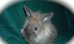 Copper is a Baby Male LionLop Bunny Tort in Color 13 Weeks Old. Very Friendly and Loving. Raised With Kids,Cats and Dogs. Last 1 Left. Currently Being Litter-Trained and Almost There. A True Sweetheart Looking For A Loving Home. Asking $30 for Copper. (He