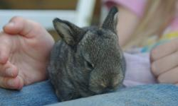 Baby lop bunnies. Handled and loved daily by our family. Very sweet, love attention. $20 each. Parents can be viewed. Parents also very tame pet rabbits.