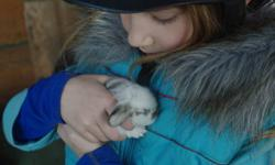 Very adorable purebred lop bunnies. Floppy ears! Will be ready to go in about four weeks. Located in Salmon Arm.