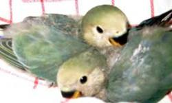 baby peach faced love pellets and bird babies for sale. ready to go now eating pellets and seed. asking 50.00 each or two for 75.00 I have cages available for an extra fee. handfed so they are hand tame...will make great little pets. wings are clipped.