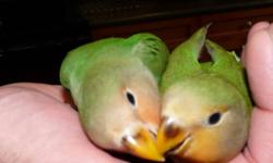 2 Super Tame Lovebird Babies The babies are super tame and love people. They are used to children, cats and other animals. One is Peach face and the other is an Orange Face. We are located in Maple Ridge 604-789-4502