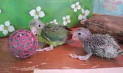 parrotlets are one of the smallest parrots in the world they have a wonderful outgoing personality, they come in all sorts of colors and have very quiet voices they make little messes and can be lovable pets for the whole family. parrotlets can learn to