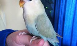 I have  peach-faced lovebirds left looking for a new homes. These babies are doing well and thriving! If you have more questions, please call or text 705-690-3193. Asking $75 each. This ad was posted with the Kijiji Classifieds app.