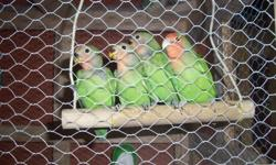 Baby peach-face lovebirds for sale.  Ready to go. Not hand fed. asking $60.00 a piece - Pet stores ask $150.00. Beautiful birds with wonderful personality, very vocal and love to socialize.  One has yellow under the neck and the rest are peach.