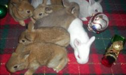 We have 8 baby rabbits for sale. Just in time for christmas. Would make a great gift for the kids. Ready to go now.