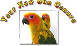 Hand-Raised and Tame Baby Sun Conures. I have LOTS of them for sale! All birds are banded. ******************************************************************* Hand-raised, semi-tame birds hatched spring of 2011 - $500each Currently unsexed but will be