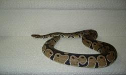 100% Het Albino - Male Ball Python 832 grams Eating Frozen/Thawed 4 years old (Hatched June 2007) Purchased from Corey Woods Will throw in misc equip: heat lamp, log etc