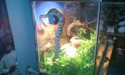 Ball Python - Selling my Ball Python, along with; two tanks, heat lamp, wood chips, two water dishes, three huts/caves, three foot vine, tree branch, and 4 sets of plastic leaves. Its a male snake, and is about a foot and half in length. Hes just around a