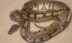 I have a 1 year old male ball python 3ft long comes with 3x1ft glass tank which includes water dish, cave, heating pad that goes underneath. Everything you need no trip to the pet store. Very friendly and curious, likes to explore when taken out of tank,