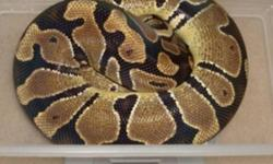 Lots up for grabs! Het Albino Female (first two pics) $450 each Normal female (3rd pic) $100 Pastel female (4th pic) $500 All eating appropriately sized f/t rats every 7 days. Beautifully kept snakes, healthy in every way! Jeremy This ad was posted with