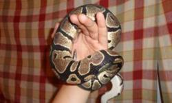 Hello, Im selling my ball python with his set up. He has never bitten or shown aggresive behaviour to anyone. he is realy nice. I just dont have the time for him anymore. His terrarium is a sliding top has 3 cracks that are easily repairable and dont