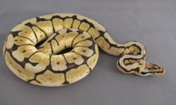 Ball Pythons for sale. 2009 males - these guys are ready to breed this winter Mojave- 926g male $300 Spider - 643g male $300 2009 females Normal - 687g female SOLD $100 Het Albino - 526g female $200 2011 Babies Pastel -210g male $125 SOLD