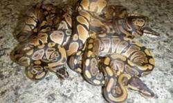 Reptile Store.ca is excited to tell you about our first of many specific species sales! BALL PYTHONS! These little guys make awesome pets! ON SALE now for $59.99! We have lots to choose from but they will go fast! Come on in to Reptile Store.ca and pick