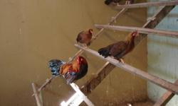 they are 2011 hatch.....young bantee rooster & hen asking $20.00 for pair Call 519-699-4308