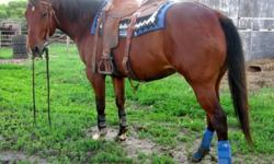 2006 14.3 HH Bay reg. AQHA mare. Runs 2D times and will get faster. She is easy to ride with no gate or alley issues. Runs a great pole pattern as well. This mare is full of heart and try. She will give you 110% every time you get on. She was