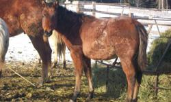 Bay Roan Weanling stud colt! very rare. $600 OBO. With more training like halter breaking, etc, price will go up accordingly! Pictures don't do this guy justice! I am posting this for a family member, so please call the number as I have limited
