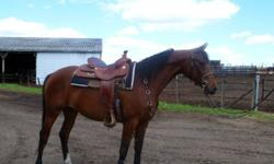 Star is a calm, gentle, easy going mare.She is bay with a star and stands around 15.1 HH. Star is able to walk, trot, canter, moves off leg and is responsive. She has a laid back personality under the saddle and when your working with her on the ground.