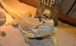 Hello, I sadly have to sell one of my bearded dragons.. He is a happy, friendly, hyper bearded dragon. He is just over a year old. He's never had any problem biting. He likes to be held, as long as he feels safe while you're trying to pick him up, and