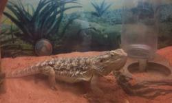 I'm selling my bearded dragon and large terrarium due to me moving i cannot transport him asking 100 obo