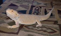We need to give up Jack due to our schedule changes.  We are no longer able to give him the time he needs.  Great lizard for a beginner, he is healthy, established, friendly and eats well.  Jack is 14 months old. Habitat includes, tank, cricket tank,