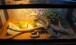 "$250 OBO I am selling my 1 1/2 year old Bearded Dragon, I just don't have the time for her anymore. She is healthy and has no issues. The terrarium is 36"" x 18"" x 18"" (a 50g breeder). It includes lights, substrate (she is on sand right now), and any"