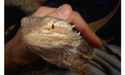 I have for sale my only bearded dragon, McDuff. I am not a breeder and he is not a high-price morph with an expensive bloodline. I got him when he was just a baby and he has been a companion for 3 years now. Unfortunately, my wife and I are moving to a