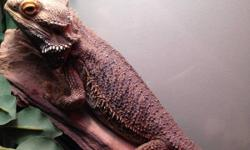 I am selling my bearded dragon with tank, lights, plants, food and extra bulbs for $200. He is around 5 years old and very tame. Never bites or is aggressive. This is a super good deal. The dragon alone normally costs this much. Don't miss out on this