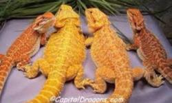 Looking to buy a bearded dragon morph (like pics below). Would prefer a baby or juvie but if not offer what you have and will go from there. Thanks for your time This ad was posted with the Kijiji Classifieds app.