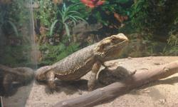Two year old Bearded Dragon. Dragon is approximately 16 inches long and in great health. Comes with tank, lamp, thermometer, branch, water dish and a bag of dried food. Tank is 24w x 18h x 12d. Please call 905-899-1008