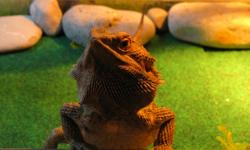 "17"" Long Bearded Dragon (tip to tip) about 4 or 5 years old Comes with: Tank 52"" Wide / 17"" Long / 17"" Tall with sliding front door Heat Lamp sand and accessories."