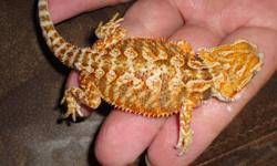 orange bearded dragons for sale if interested email for more info last two pics are the parents (NFS)