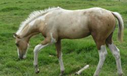 Absolutely GORGEOUS 2011 foal crop!! Must see them!! And they are located just off of Hway 63 near Wandering River!! Many palomino tobiano weanling stud colts!! Well bred, cool colours|! Sire is LENAS PEYOTE EXPRESS! check out his pedigree on