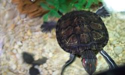 HI GUYS I HAVE A BEAUTIFUL 3 INCH RED EARED SLIDER FOR SALE I HAVE HELD HIM AROUND SO HE IS NOT MEAN I AM TO BUSY WITH OTHER STUFF WHICH IS THE REASON I AM SELLING HIM HE IS BEEN EATING ANY FOOD I OFFER HE IS REALLY IS TO TAKE CARE OF HE IS IN A 30 GALLON