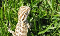 We have 10 baby bearded dragons looking for good homes. they are all eating well and even moving on to pre-killed food (meaning no creepy crawlies!). They are very active and alert as well. We also own both parents so meeting them is as easy as coming to