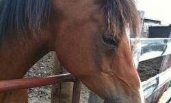 2005 -Registered Bay Purebred Arabian gelding.  Green broke.  He is learning extremely well & quickly with trainer.  Will make an excellent show and or pleasure horse.    Requires an experienced rider.   He has a great personality & loves being around