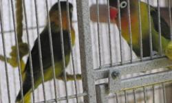 """Who? I named them, 1 and 2- because they look like twins :P What? I have these 2 beautiufl fincher love birds for sale! plus a large cage!                               Stands- 38"""" or 97cm                               Length- 32"""" or 82cm"""