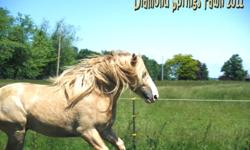 Diamond is a 4yr old beautiful blonde gelding. He was just gelded about 2 months ago so he needs a little more time adjusting. The last mare he was around was his mommy 3 years ago so he isnt stalliony...We are not so much looking for big bucks for him