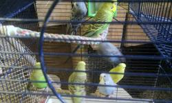 Beautifull Baby Budgies Birds. I only have 25 avalable. Birds are priced at $8.50 each