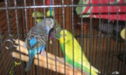 3 sweet budgies, Mom, Dad and Daughter free to loving home. Deluxe cage and accessories included. They have not been hand-trained, however with patience they have great potential.