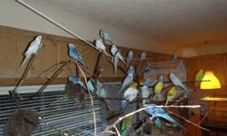 Several young budgies ranging in age from 44 days to 7 months old. Wide varity of colors, including, blue, white, grey, yellow, green, and pastels. They are beautiful birds, and make wonderful pets. I am hoping to find them good homes with loving owners.