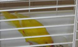 I have a beautiful couple of Kakarikis for sale comes with the cage MAKE ME AN OFFER no time to take care of them they are tame WAS asking 250.00 OBO ALL TOGETHER Yellow one is the male Green one is the female they also come with a little cage for