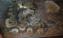 I'm selling my female ball python. She is around 4 feet long. Comes with complete setup basically. She is very healthy and eats every 2 weeks. She eats med. size live rats/mice. shes very friendly and she seeks attention and wants to be held all the time.