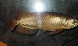 I have a beautiful gold Jardini Arowana for sale,18 inches.Both eyes are straight. Does very well with small fish,As long as you leave a light on at night.He eats pellets,shrimp and as a treat I give salmon,chicken breast and pork or beef with no fat!! I