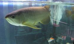 I am selling my Green Arowana. It is about 4 years old & is about 23 inches in length It comes with certification He eats super worms and pellets $600 O.B.O Questions or inquiries please contact me at 6472712025 or email Keywords: fish, fishes, aquarium,